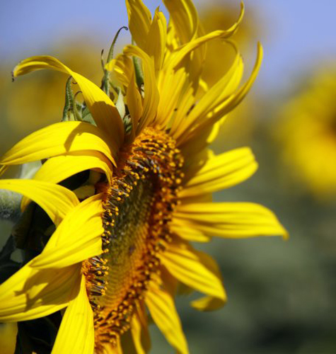 Sunflowerfarm4