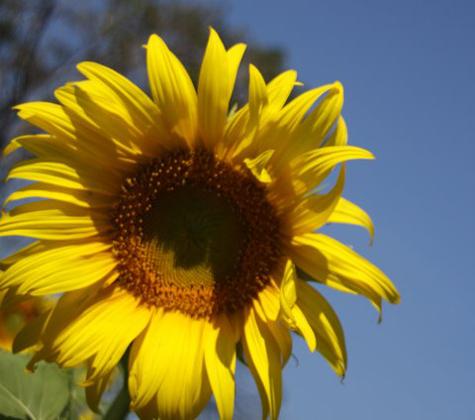 Sunflowerfarm7