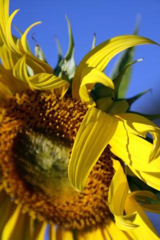 Sunflowerfarm8