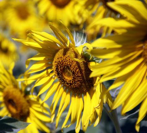 Sunflowerfarm14