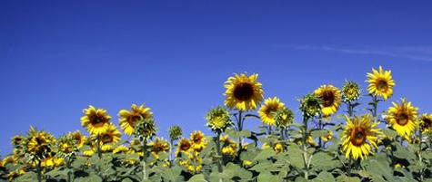 Sunflowerfarm2