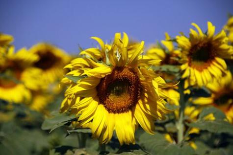 Sunflowerfarm3