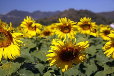 Sunflowerfarm9