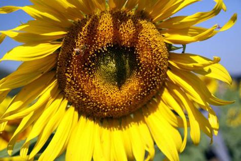 Sunflowerfarm10