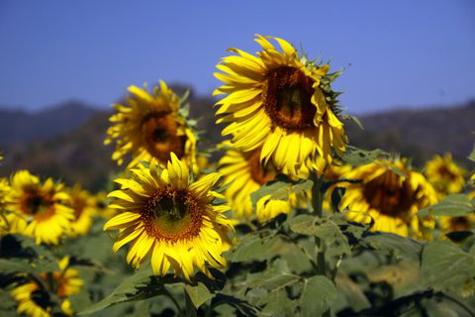 Sunflowerfarm11