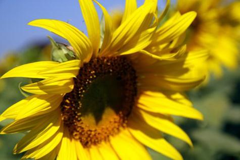 Sunflowerfarm12