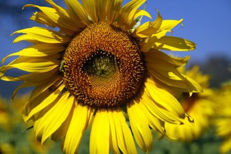 Sunflowerfarm13