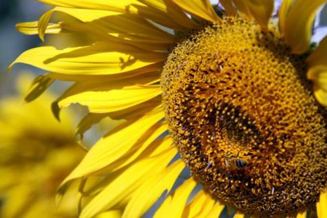 Sunflowerfarm15